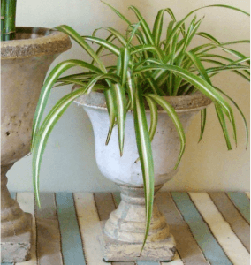 Spider Plant in a planter